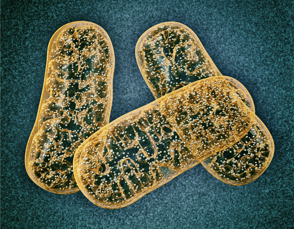 Could Mitochondria Be the Key to a Healthy Brain?