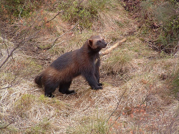 U.S. to Be Sued for Denying Protections for Wolverines