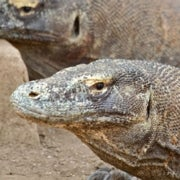 Female Trouble: For Komodo Dragons, Rife Inequalities between the Sexes [Slide Show]