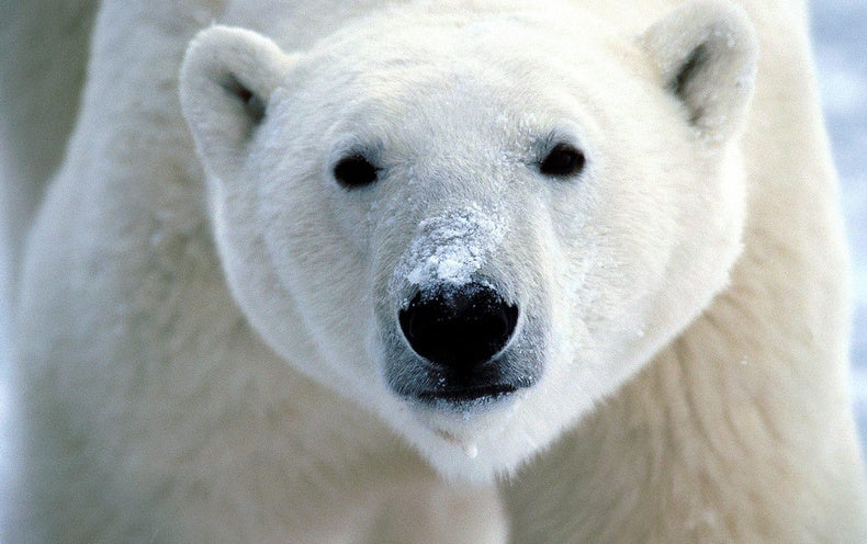Polar bears could face extinction faster than thought, study says