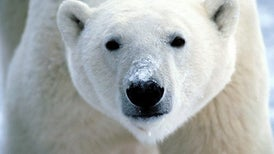 Polar Bears Require More Food to Survive Than Thought