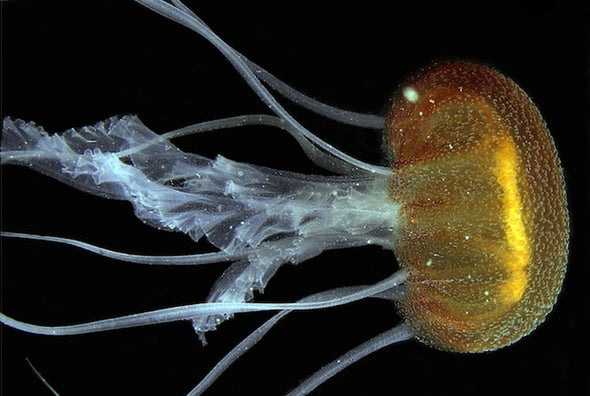 Beautiful New Jellyfish Identified in the Gulf of Venice