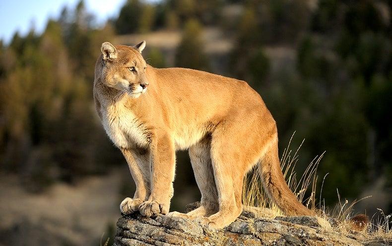 Pumas React to Humans like Prey