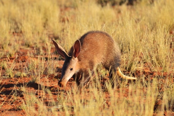 Aardvarks Are Ailing amid Heat and Drought