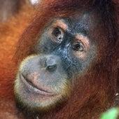 Sumatran Orangutan <i>Pongo abelii</i>
