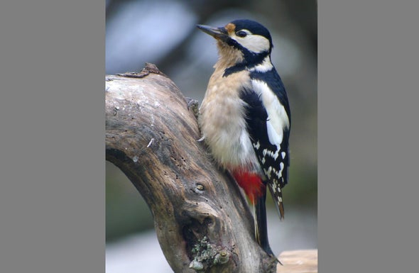 Woodpeckers Drum to Their Own Tunes