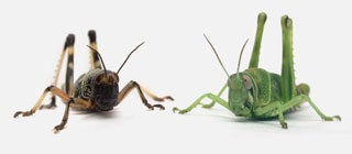 When Grasshoppers Go Biblical: Serotonin Causes Locusts to Swarm