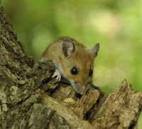 Speedy Evolution Detected in Windy City's Wild Mice