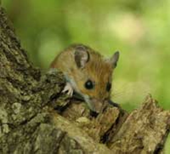 Speedy Evolution Detected in Windy City's Wild Mice