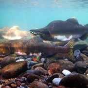 Pink Salmon Struggle as Freshwater Becomes Acidic