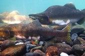 Pink Salmon Struggle as Freshwater Becomes Acidic