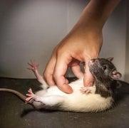 Eavesdrop on Ultrasonic Rat Giggles