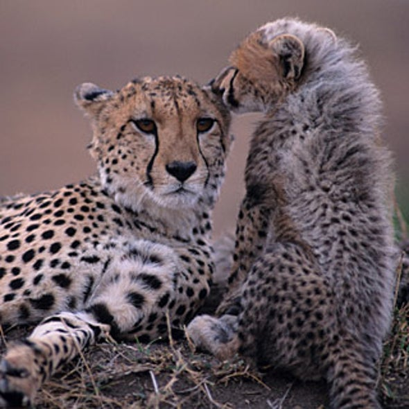 What Is Being Done to Save the Cheetah?
