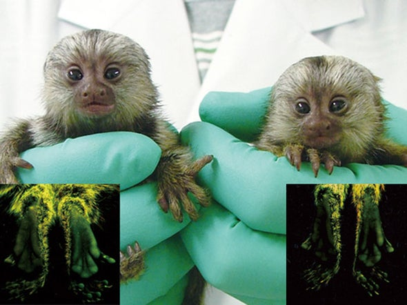 Next generation: Glowing transgenic monkeys