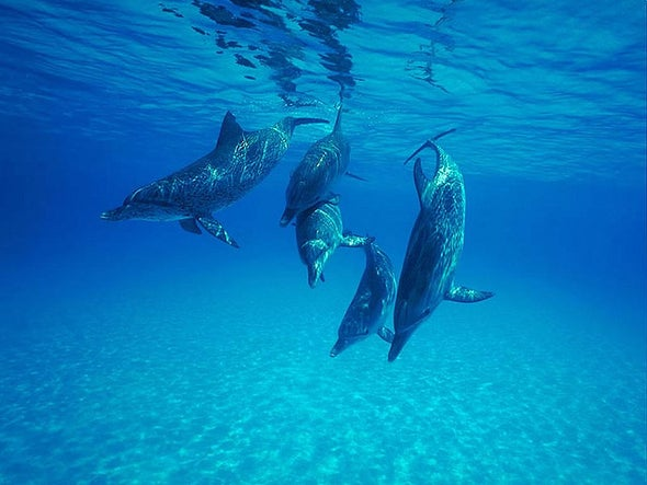 """Deep-Diving Dolphins Avoid """"Bends"""" with Powerful Lungs"""