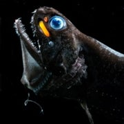 Gleaning the Gleam: A Deep-Sea Webcam Sheds Light on Bioluminescent Ocean Life