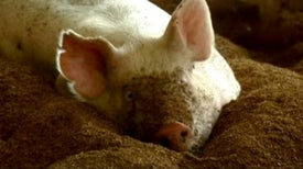 'Piggy Litter' Helps Swine Live High On the Hog