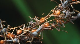 Ants Save Their Hides by Floating on Their Children's Backs