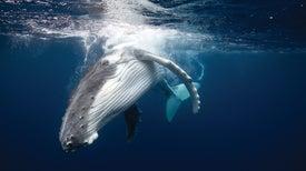 Humpback Whale Calls Remain Constant over Decades