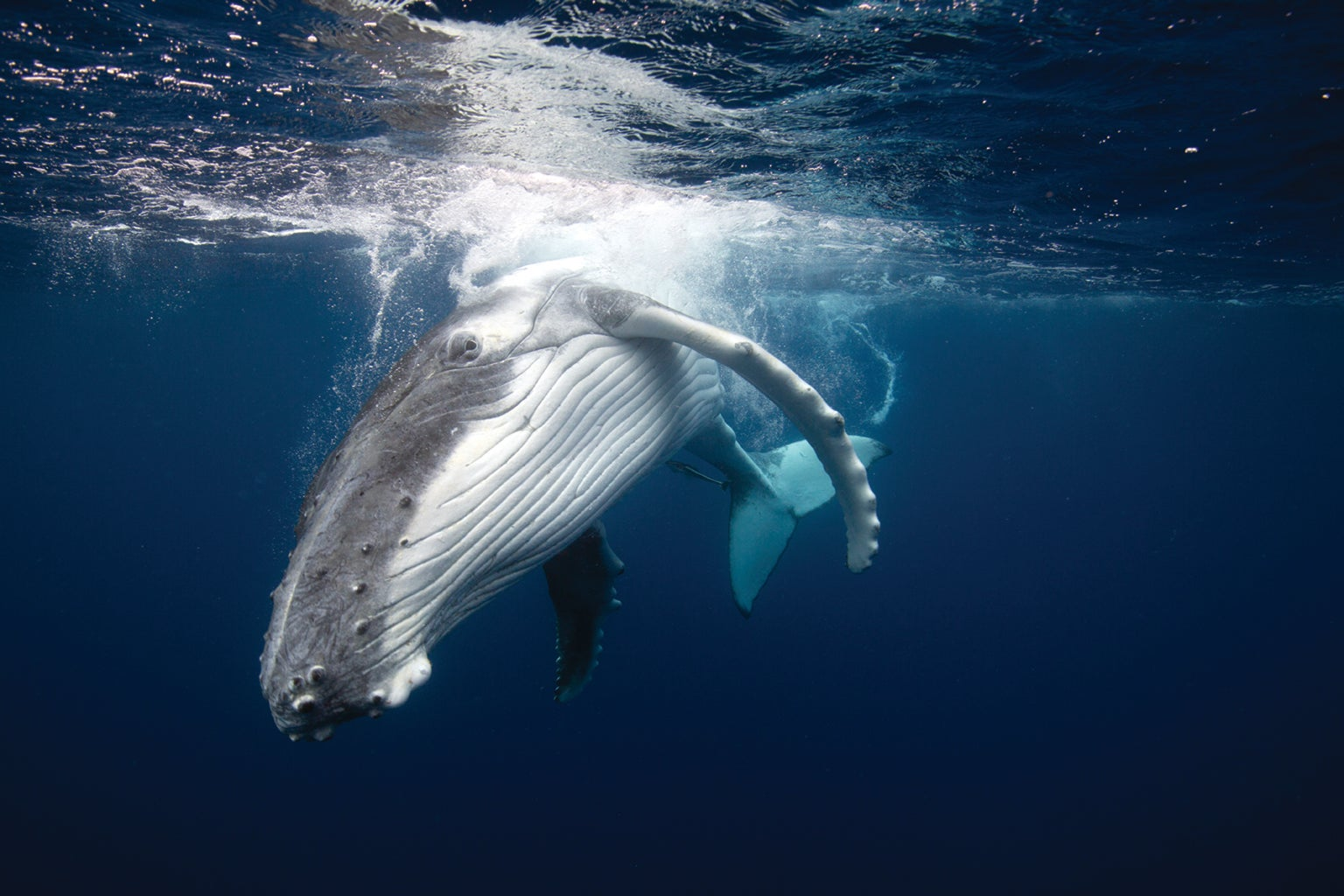 Humpback Whale Calls Remain Constant over Decades