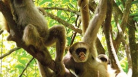 """Mama's Boy"" Monkeys Score with the Ladies"