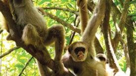 """Mama's Boy"" Monkeys Score with the Ladies"