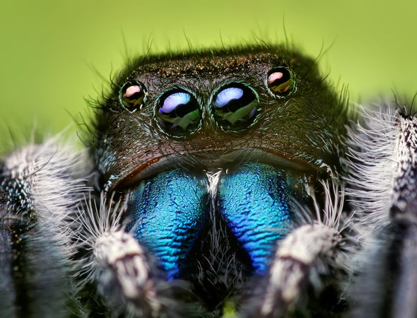 "Jumping Spiders ""Hear"" Long-Range Audio with Their Hairy Legs"