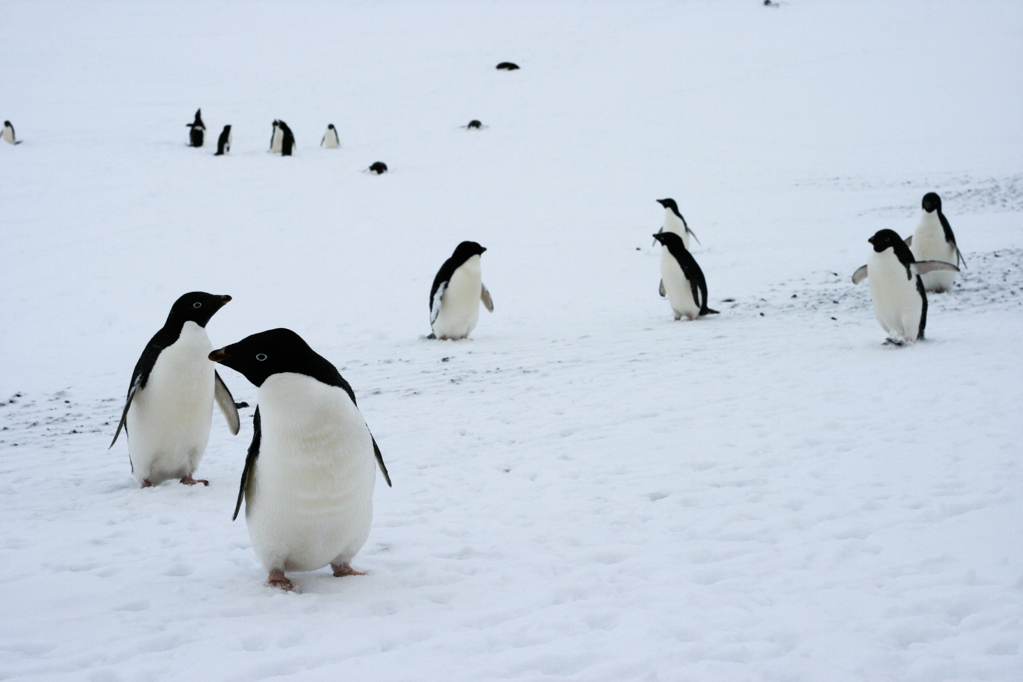penguin populations are changing dramatically scientific american