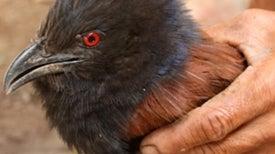 Buddhist Ceremonial Release of Captive Birds May Harm Wildlife [Slide Show]