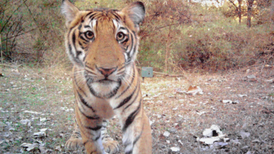 Camera Trap Photographs Capture India's Wild Tigers