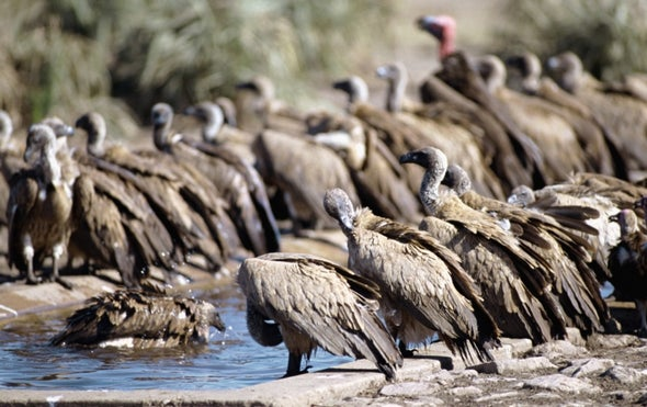 Cattle Drug Threatens Thousands of Vultures