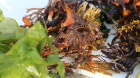 Invasive Seafood: It's What's for Dinner