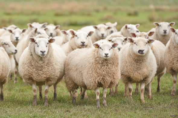 Sheep's Face-Reading Skills Stand Out from the Flock