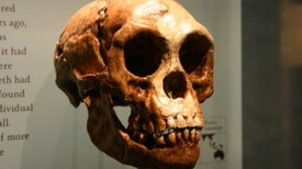 Hobbits Were a Separate Species, Ancient Chompers Show