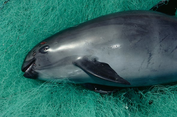 A Last-Ditch Attempt to Save the World's Most Endangered Porpoise