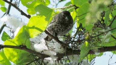 Darwin's Finches Stamp Out Deadly Parasite with Help from Cotton Balls