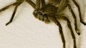 Do dangerous spiders lurk in grocery store produce?