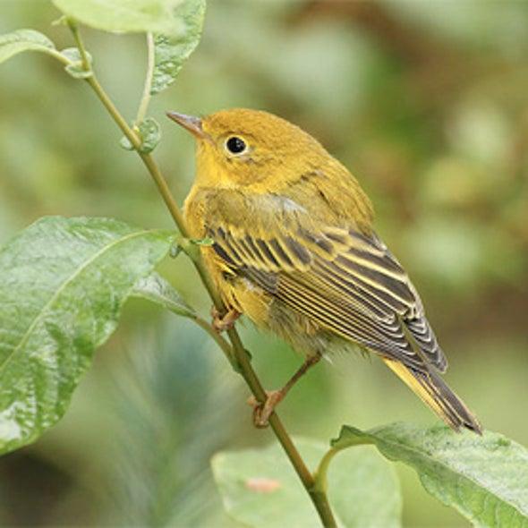 Birds Protect Coffee Crop