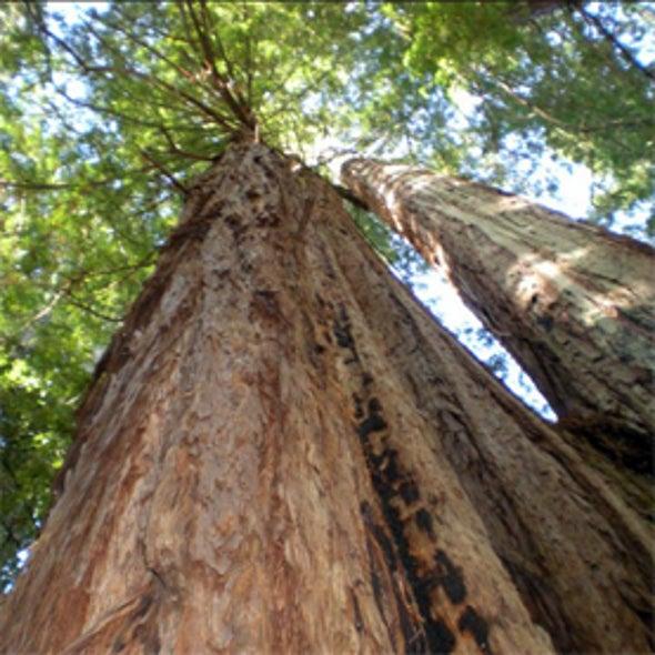 Redwood Watch