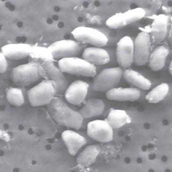 Poison Nil: Mono Lake Bacterium Exhibits Exotic Arsenic-Driven Biological Activity