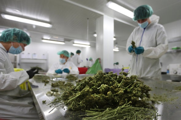 Scientists Want the Smoke to Clear on Medical Marijuana Research