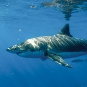 Shark-Smitten Tourists Help Save Guadalupe's Great Whites