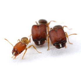 Scientists Make Supersoldier Ants