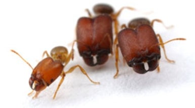 Scientists Make Supersoldier Ants