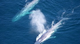 Blue Whale Song Timing Reveals Time to Go