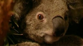 A Koala Comeback for Private Refuge