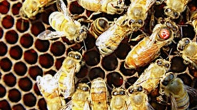 Royal Pains: Why Queen Honeybees Are Living Shorter, Less Productive Lives