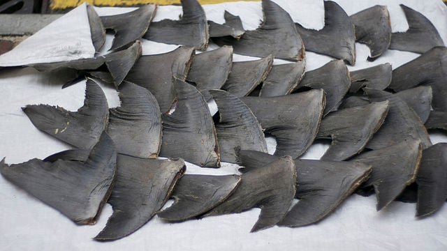 Trade in Shark Fins Takes a Plunge