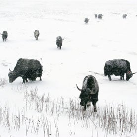 In the Field: A Biologist Who Counts Wild Yaks