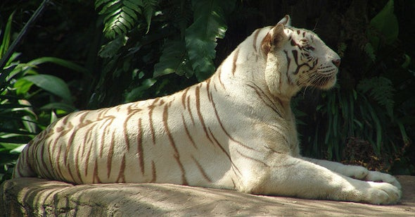 Save the White Tigers